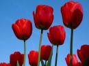 Tulipany, tulipany...