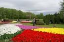 Kobierce tulipanów