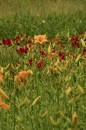 Liliowce w pełnej krasie