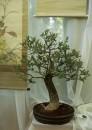 Trzmielina pospolita w stylu bonsai