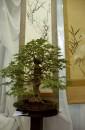 Drzewko bonsai na tle japońskich obrazów