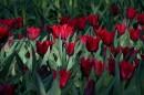 Gdy w Ogrodzie Botanicznym zakwitną…tulipany