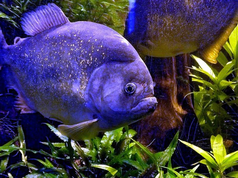 Fioletowe piranie i inne cuda podwodnego świata