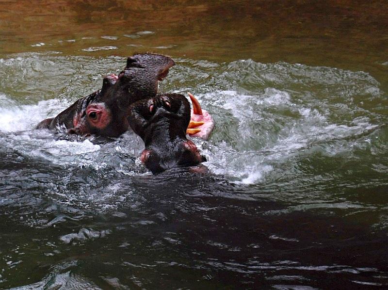 Hipopotamy w agresywnej odsłonie