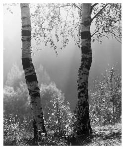 Z cyklu Drzewa. Fotografie Stefana Arczyńskiego w Pałacu Królewskim