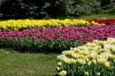 Grządki tulipanów