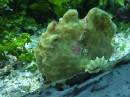 Ryba - liść. Przedstawiciel rodzaju taenianotus
